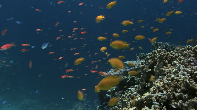 reef fish feeding. seen here are lemon damselfish (pomacentrus moluccensis) lyretail anthias (pseudanthias squamipinnis) and blue green chromis (chromis viridis) - anthias fish stock videos & royalty-free footage