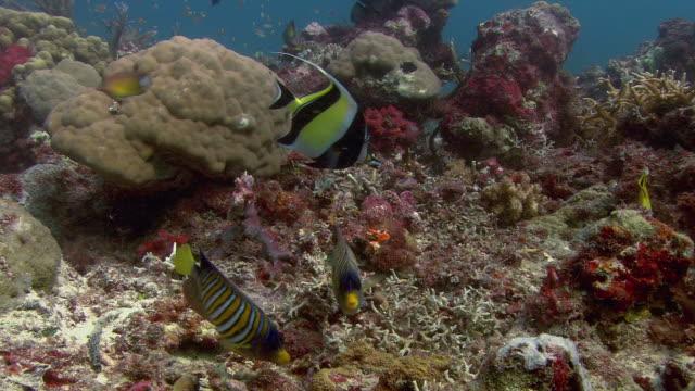 reef fish feeding. - moorish idol stock videos and b-roll footage
