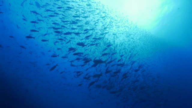 reef fish schooling at undersea reef, darwin island - galapagos islands stock videos & royalty-free footage
