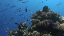 Reef fish swim around a Coral Bommie. Great Barrier Reef. Australia. Slow motion. Shot with RED Camera. POV Shot.