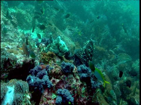 reef fish swim around camouflaged octopuses mating on reef, phuket - camouflage点の映像素材/bロール