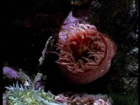 reef fish swim past large red anemone filter feeding on seabed. - sea anemone stock videos and b-roll footage