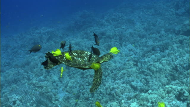 Reef fishes clean green sea turtle (Chelonia mydas) on coral reef, Hawaii