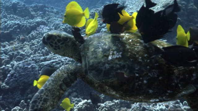 reef fishes clean green sea turtle (chelonia mydas) on coral reef, hawaii - green turtle stock videos & royalty-free footage