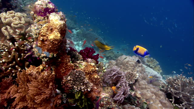 reef fishes on coral reef, west papua, indonesia - reef stock videos & royalty-free footage