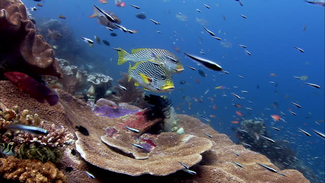 Reef fishes on coral reef, West Papua, Indonesia