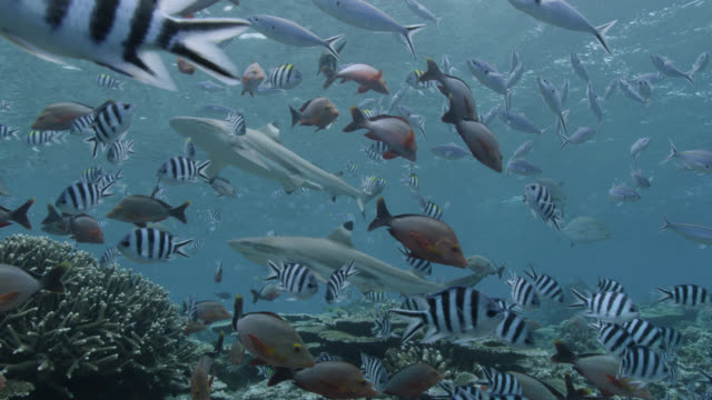 reef fishes swim over coral reef, fiji - shark stock videos & royalty-free footage