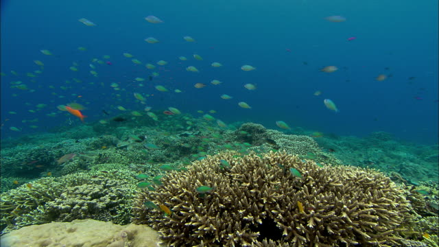 reef fishes swim over coral reef, manado, indonesia - undersea点の映像素材/bロール