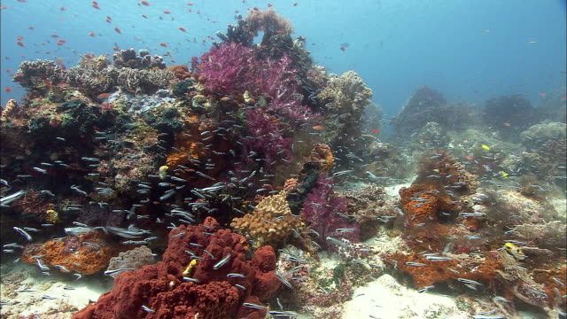 Reef fishes swim over coral reef, West Papua, Indonesia