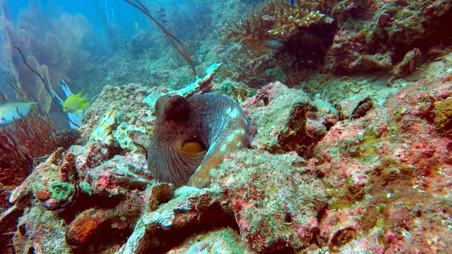 vidéos et rushes de reef octopus (octapus cyanea) camouflées par les récifs coralliens - invisible
