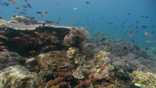 reef scene with ring-tailed cardinalfish (apogon aureus), tulamben, bali - bali stock videos & royalty-free footage