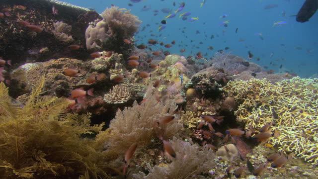 Reef scene with ring-tailed cardinalfish (Apogon aureus), Tulamben, Bali