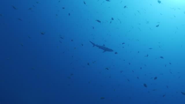 vídeos y material grabado en eventos de stock de crucero de tiburones de arrecife bajo la superficie del mar en maldivas - pasear en coche sin destino