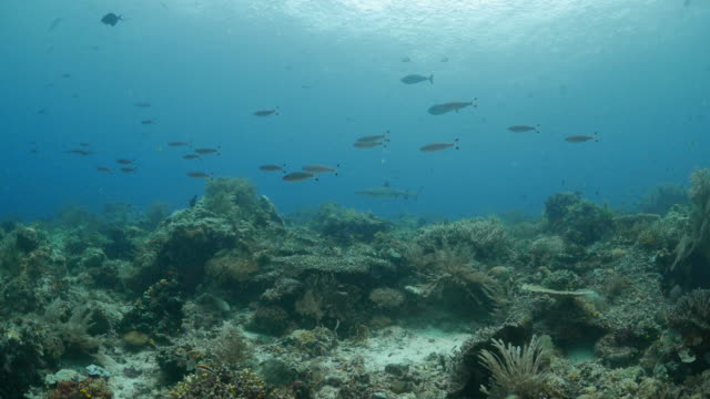 サンゴ礁におけるクルージング リーフ サメ - ネムリフカ点の映像素材/bロール