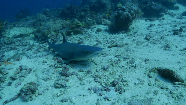 reef shark lying on the ground undersea - whitetip reef shark stock videos & royalty-free footage