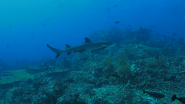 reef shark swimming close to photographer - whitetip reef shark stock videos and b-roll footage