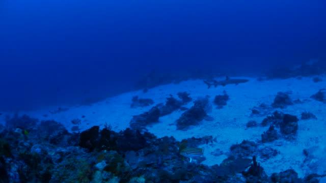 Reef shark swimming undersea in seabed