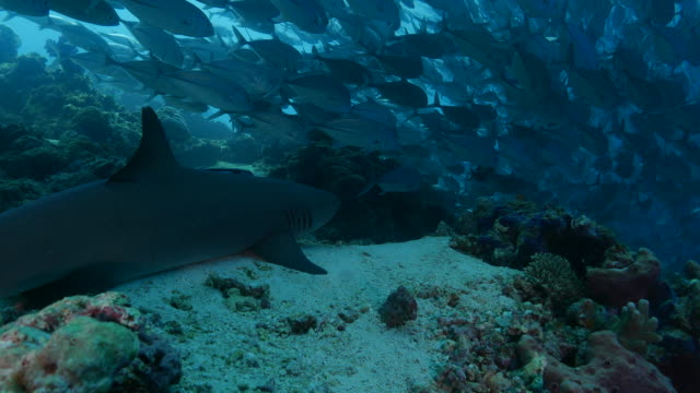 reef shark tracking a big school of jack fish (4k->fhd) - jack fish stock videos and b-roll footage
