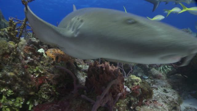 reef sharks and nurse shark to camera, close up - caribbean reef shark stock videos and b-roll footage
