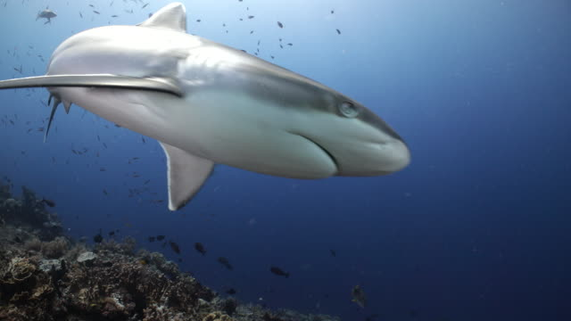 reef sharks hunting along a coral reef in papua new guinea - caribbean reef shark stock videos & royalty-free footage