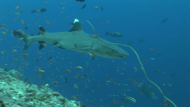 reef whitetip shark (triaenodon obesus) circles reef edge. palau, western pacific - whitetip reef shark stock videos and b-roll footage