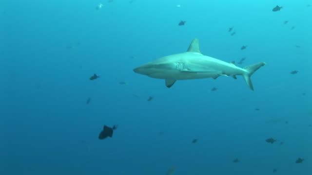reef whitetip shark (triaenodon obesus) circles reef edge. palau, western pacific - whitetip reef shark stock videos & royalty-free footage