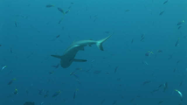 Reef whitetip shark (Triaenodon obesus) circling then twitches and briefly points head down. Palau, Western Pacific