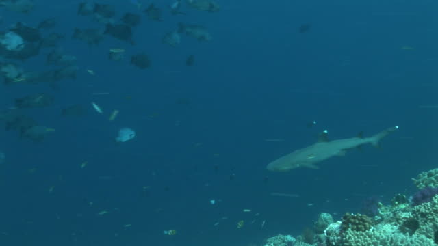reef whitetip shark (triaenodon obesus) glides below along reef edge. western pacific - whitetip reef shark stock videos and b-roll footage