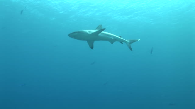 reef whitetip shark (triaenodon obesus) glides over camera. western pacific - whitetip reef shark stock videos & royalty-free footage
