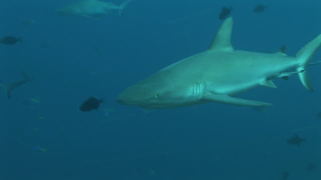 Reef whitetip shark (Triaenodon obesus) moves past camera gliding in current. Palau, Western Pacific