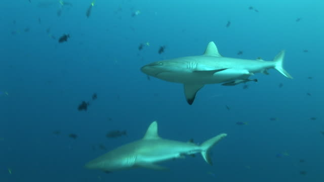 Reef whitetip sharks (Triaenodon obesus) glide in current towards camera. Palau, Western Pacific