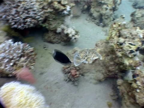 reefs near dahab, red sea, blackspotted electric ray (torpedo fuscomaculata) moving over coral reef while being followed by small black fish who persistently pecks ray's tail before darting away. - electric ray stock videos & royalty-free footage