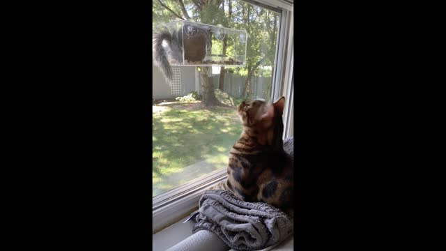reese the bengal cat's favorite activity is bird watching. but a greedy squirrel discovers the feeder and attempts to eat all the bird food. watch... - bird watching stock videos & royalty-free footage