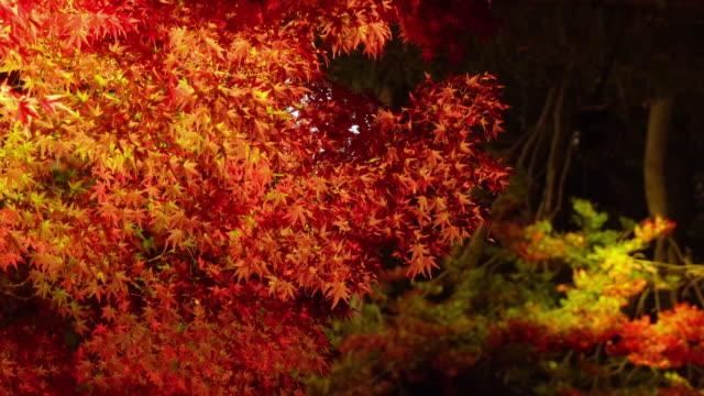 vídeos de stock, filmes e b-roll de refections das folhas de outono em nabana nenhum sato, mie, japão - ácer
