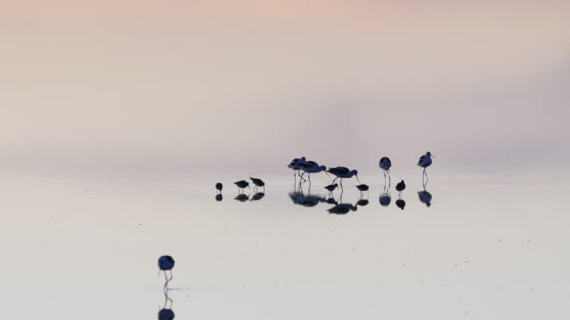 vidéos et rushes de reflection of birds family eating in the lake at twilight. - simplicity
