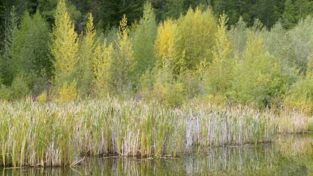ms pan reflection of cattail marsh grass / clinton, british columbia, canada - reed grass family stock videos and b-roll footage