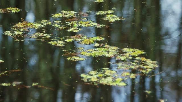 reflection of cypress trees and salvinia floating in the atchafalaya river basin swamp in southern louisiana under an overcast sky - evergreen stock videos & royalty-free footage