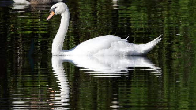 reflection with expanding ripples beneath swimming mute swan hd video - mute swan stock videos & royalty-free footage