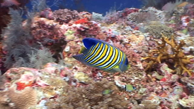 regal angelfish at a tropical coral reef 1 - angelfish stock videos & royalty-free footage