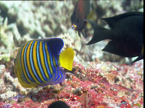 regal angelfish, lined bristletooth and chiseltooth wrasse feed on coral - red sea stock videos & royalty-free footage
