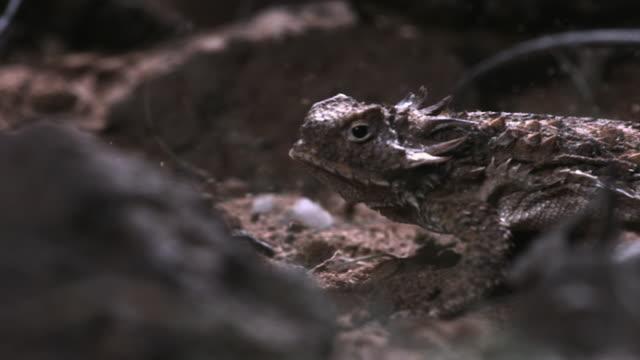 slomo regal horned lizard runs in desert, arizona, usa - arizona stock videos & royalty-free footage