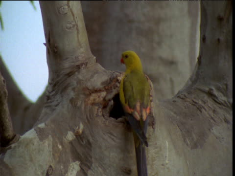 "stockvideo's en b-roll-footage met regent parrot lands on gum tree branch and squeezes into nest hole, victoria, australia - ""bbc natural history"""