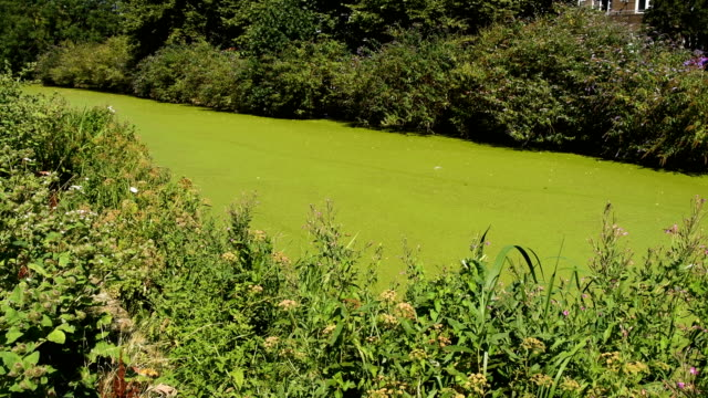 regent's canal is seen following a huge increase in the amount of duck weed on the waterway on july 24 2018 in london england the recent high... - algae stock videos & royalty-free footage