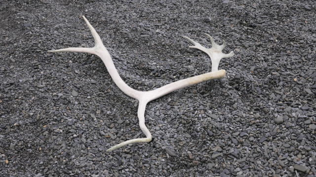 Reindeer antler from exterminated herd on Fortuna Bay, South Georgia Island, Southern Ocean