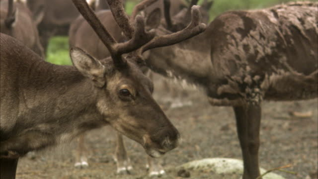 vídeos y material grabado en eventos de stock de reindeer at a zoo sweden. - cuatro animales