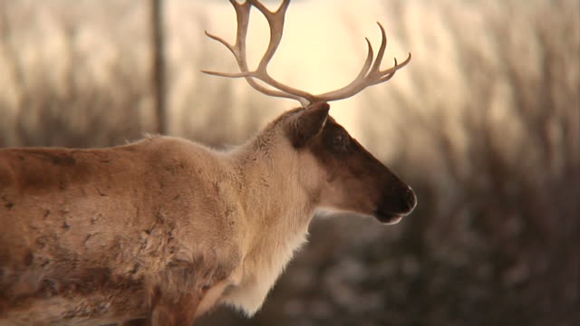 stockvideo's en b-roll-footage met reindeer at dusk - canada