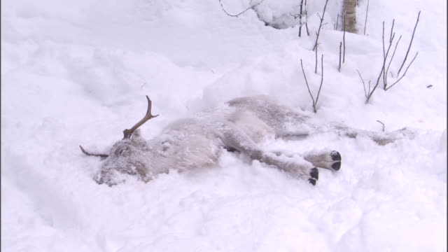 reindeer carcass lies in snowy boreal forest, sweden - eingefroren stock-videos und b-roll-filmmaterial