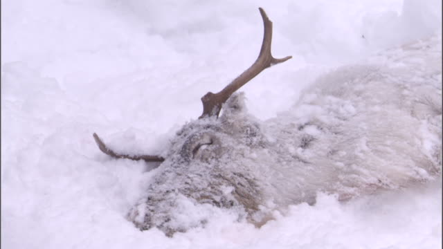 Reindeer carcass lies in snowy boreal forest, Sweden