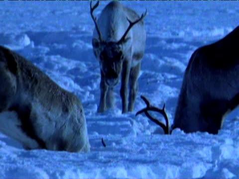 reindeer dig in snow for food, scandinavia - 食糧を捜す点の映像素材/bロール