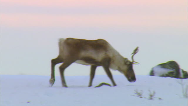 Reindeer eating moss on snowfield